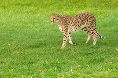 Cheetah - Acinonyx jubatus. Originally from Africa, a captive female Cheetah walks in the grass at the zoo. Toronto, Ontario, Canada stock images