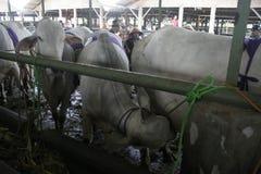 Originally Valuable cow Klaten Stock Images
