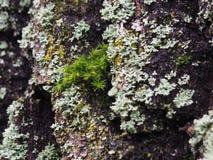 Originele Eiken houttextuur met mos royalty-vrije stock afbeelding