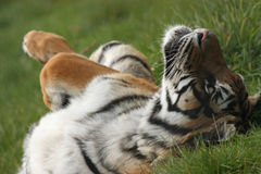 Originele tijger Stock Afbeelding