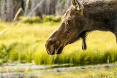 Orignaux au parc national grand de Teton image stock