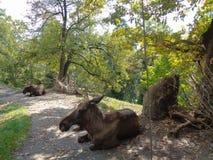 Orignaux au zoo en Autriche images libres de droits