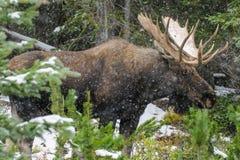 Orignaux canadiens sauvages (alces d'Alces) Images libres de droits