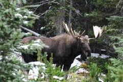 Orignaux canadiens sauvages (alces d'Alces) Photographie stock libre de droits