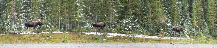 Orignaux canadiens sauvages (alces d'Alces) Photos libres de droits