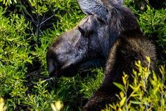 Orignaux chez Jackson Hole Photo libre de droits