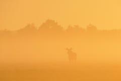 Orignaux dans le lever de soleil Photographie stock libre de droits