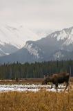 Orignaux dans les montagnes Images libres de droits