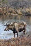 Orignaux de Bull dans l'étang de toundra Photos stock