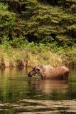 Orignaux de Bull dans le fleuve Photos libres de droits