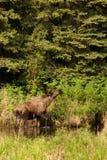 Orignaux de Bull dans le fleuve, II Image stock