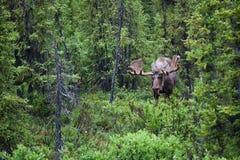 Orignaux de Bull dans le forrest Photo libre de droits