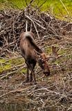 Orignaux de l'Alaska Images stock