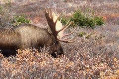 Orignaux de l'Alaska Bull photo libre de droits