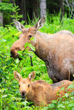 Orignaux de l'Alaska et jeune alimenter de veau Images stock