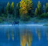 Orignaux de Taureau alimentant dans le lac Image stock