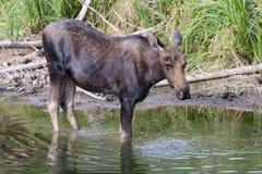 Orignaux de Taureau dans l'étang Photographie stock libre de droits