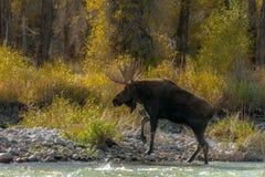 Orignaux de Taureau retournant à la terre après le passage de gué de la rivière image libre de droits