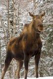 Orignaux de vache à mère Photographie stock libre de droits