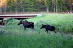Orignaux et veau dans la grande réserve forestière de klaxon photos stock