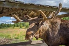 Orignaux majestueux de taureau Photo libre de droits