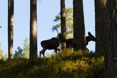 Orignaux ou silhouettes européennes de veaux de l'alces deux d'Alces d'élans dans la forêt Photos libres de droits