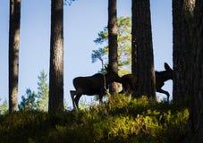 Orignaux ou silhouettes européennes de veaux de l'alces deux d'Alces d'élans dans la forêt Image stock
