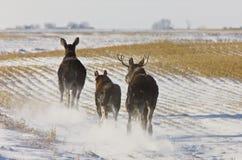 Orignaux Saskatchewan de prairie Photos libres de droits