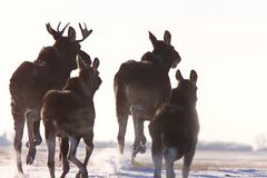Orignaux Saskatchewan de prairie Image libre de droits