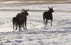 Orignaux Saskatchewan de prairie Photographie stock libre de droits