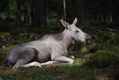 Orignaux se reposant dans la forêt Images libres de droits