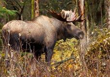 Orignaux Taureau, mâle, Alaska, Etats-Unis images libres de droits