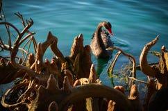 Orilla cercana del pato silvestre Imágenes de archivo libres de regalías