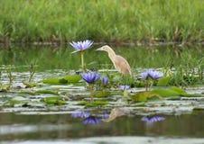 Orilla del agua del Egret de ganado Foto de archivo