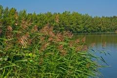 Orilla del lago con la caña creciente Fotos de archivo libres de regalías