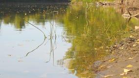 Orilla del río en otoño temprano, en la orilla del pocas hojas caidas amarillas almacen de metraje de vídeo