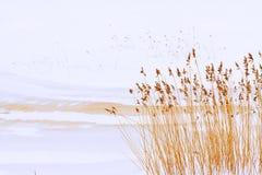 Orilla juncosa del río en una primavera muy temprana Imagen de archivo libre de regalías