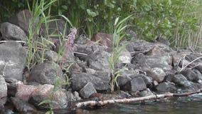 Orilla pedregosa de un lago escandinavo limpio almacen de metraje de vídeo