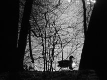 A orillas del lago con el pato en blanco y negro Imagenes de archivo