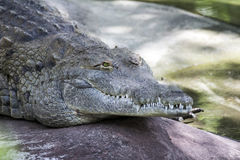 Orinoco Crocodile Closed Mouth Royalty Free Stock Photography