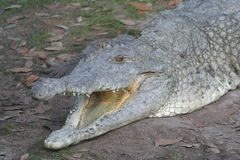 Orinoco Crocodile (Crocodylus intermedius) Royalty Free Stock Image