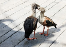 Orinoco Geese touching heads on a boardwalk Royalty Free Stock Photos