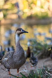 Orinoco goose, Neochen jubata royalty free stock image