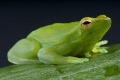 Orinoco Lime Tree Frog / Sphaenorhynchus lacteus Stock Images