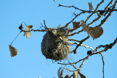 oriole гнездя Стоковая Фотография RF