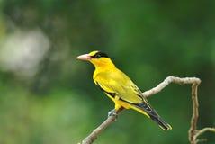 oriole Таиланд подзатылка птицы черный Стоковые Изображения RF