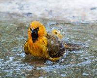 Oriole Bathing i beskickning, Texas Fotografering för Bildbyråer