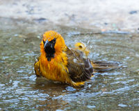 Oriole Bathing in Mission, Texas. An oriole was taking advantage of this little puddle of water and splashing and bathing with droplets of water clearly visible Stock Image