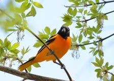 Oriole Bird Fotografia Stock Libera da Diritti