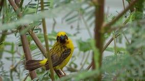 Oriole Bird Royalty-vrije Stock Fotografie